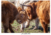 Jałówki i krowy Highland Cattle Bydło Szkockie