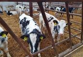 Cielaki i opasy Witam mam do sprzedania jałówki mięsne bb waga 160...