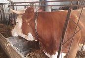 Krowa rasy Simental