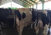 Piękne krowy HF