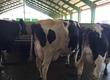 Krowy W ofercie posiadamy krowy HF pierwiastki