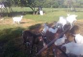 kozy mleczne i młodzież