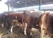 Byki na ubój kupie bydło rzeżne byki do 10 z