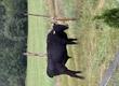 Byki rozpłodowe Sprzedam byka ma prawie 3 lata
