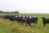 Ukraina. Byczki, jalowki 4 zl/kg. Laki, pastwiska, siano, sloma