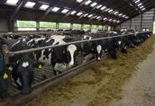 Jałówki Cielne, Krowy Mleczne HF Pierwiastki- Niemcy, Dania