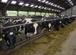 Krowy Rasa: Holstein-Friesian Roczna