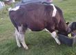 Cielaki i opasy Sprzedam byczki do dalszego chowu
