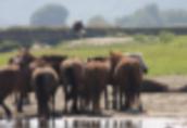 Klacze Ukraina. Konie 900zl, zwierzeta hodowlane, ogiery...